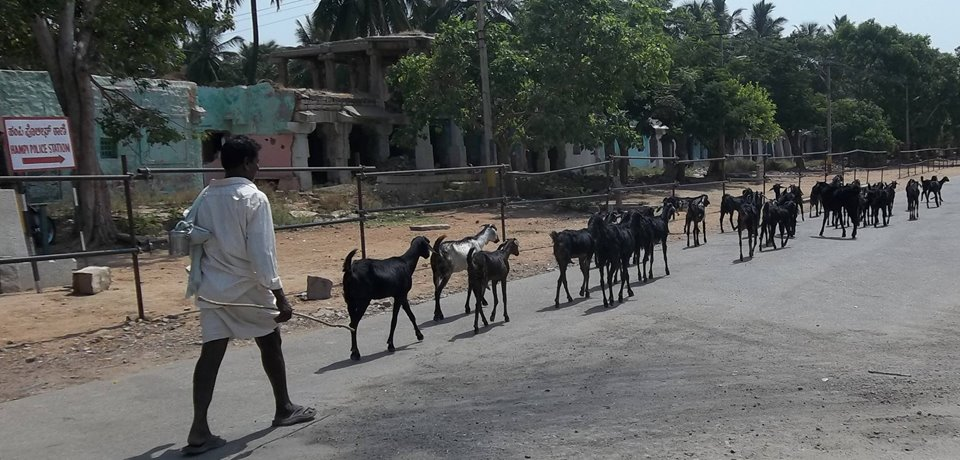 goats in hampi india